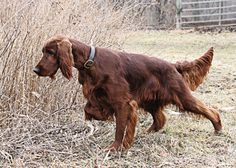 At one time the red Irish setters were the cat's meow – if you will. Something went kerflooey, though. While there are some breeders attempting to bring these friendly, gorgeous animals back to their previous stature, it's not going to be an overnight success.