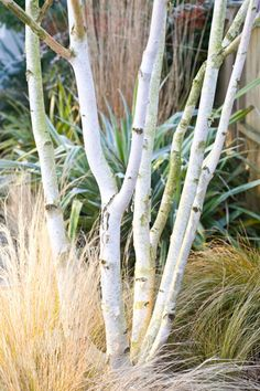 Betula utilis var. jacquemontii - Sought after for their white bark, the colour of which develops fully when the tree is around 8 years old, and their dark green leaves that turn butter-yellow in autumn, this elegant tree will also produce yellowy brown catkins in spring. These trees have been cut back when young to create three separate stems.