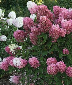 Hydrangea pan., Zinfin Doll™ , Hydrangea Quercifolia, Hydrangea Bloom, Hydrangea Care, Hydrangeas, Full Sun Perennials, Flowers Perennials, Planting Flowers, Flower Plants, Shade Plants