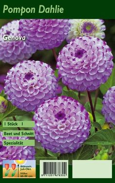 """""""Dahlia Genova"""", not only for gardeners! ✓ garden ideas ✓ urban gardening ✓ squarefoot gardening ✓ gifts ✓ vouchers ✓ and much Garden Gifts, Outdoor Spaces, Pretty, Nature, Gardens, Cakes, Beauty, Flower, Flowers"""