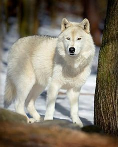 * * > Wolf is the Grand Teacher, the Sage, who after many winters upon the sacred path and seeking the ways of wisdom, returns to share new knowledge with the tribe. When the wolf walks by - you will remember. [Robert Ghostwolf