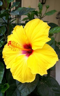 Growing hibiscus is a very easy way to include an exotic flair to your garden. When you recognize the best ways to look after hibiscus plants, you will certainly be rewarded with many years of wonderf Tropical Flowers, Hawaiian Flowers, Hibiscus Flowers, Exotic Flowers, Amazing Flowers, Fresh Flowers, Yellow Flowers, Beautiful Flowers, Lilies Flowers