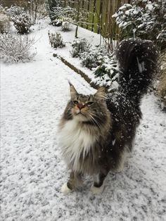 Murphy Black Tabby White Maine Coon footprints in the snow....