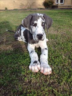My Blue Harlequin Great Dane (Triton) as a puppy. Miss when he was this little!!
