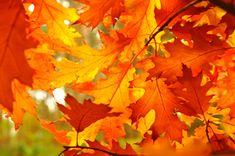 How to Preserve the Colors of Fall Foliage - Vegetable Glycerin!  Use it with fresh branches with leaves attached.  Put about 1/2 tsp into a vase full of water.  Refresh water every week.