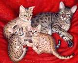 Image detail for -Bengal Cats Picture Album - Coriander