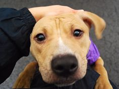 """Urgent Part 2 - Urgent Death Row Dogs Page Liked · December 26, 2014 · Edited · Manhattan Center RUBIA aka ANDY - A1023658 *** RETURNED ON 2/17/15 - """"NO TIME"""" *** SPAYED FEMALE, TAN, AM PIT BULL TER MIX, 1 yr, 2 mos RETURN - EVALUATE, HOLD RELEASED Reason NO TIME Intake condition EXAM REQ Intake Date 02/17/2015, From OUT OF NYC, DueOut Date 02/17/2015,"""