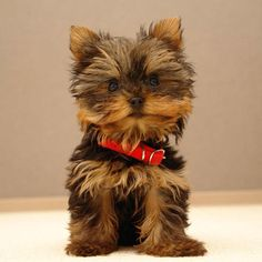 I want a baby face toy doll yorkie soooo bad.! This is my dream dog.!!!<3