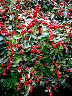 red sprite winterberry holly lovely
