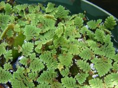 Azolla Azolla is a beautiful, tiny, fern-like water plant that is also known as mosquito fern or fairy moss. It spreads rapidly across the surface of the water forming a gorgeous cover resembling moss, which looks wonderful with other plants emerging from it. It is often used in rice fields due to its light-blocking abilities and its ability to fix nitrogen levels.