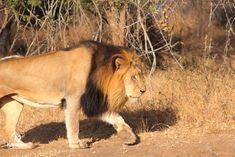 Lucky Day | Kapama Blog Rhino Poaching, Beautiful Lion, Male Lion, Camping Coffee, Lucky Day, Hyena, Beautiful Morning, Gentle Giant, Leopards