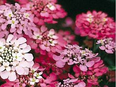 Candytuft - Garden candytuft is a fast-growing, annual, bushy plant with small, dense, round heads of fragrant flowers, which come in a range of colours from white to red. It flowers from May to August and attracts a range of insects in particular bees & butterflies. Very easy to grow as it is tolerant of poor soil conditions as long as it is free draining.