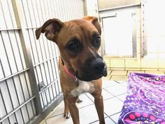 Boxador Dog For Adoption In Canfield Oh Adn 495616 On