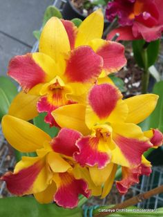 Cattaleya orchid