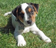 02/21/2013: Hilo the Parson Russell Terrier