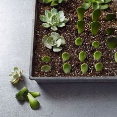 Propagating succulents.