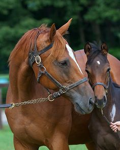Ginger Punch and her 2012 foal in Japan   (Through the Lens | Mares in Japan Part 3: American Royalty, with Kate Hunter)