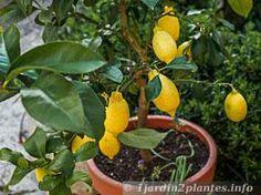 Culture d'un citronnier en pot. Photo au printemps