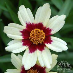 Plant Profile for Coreopsis 'Snowberry' - Hybrid Coreopsis Perennial