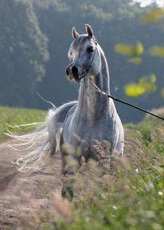El Ninjo 2007 gr.s.「Emiliusz (Laheeb x Emocja by Monogramm) xClaudiaa (Psytadel x RA Cool Elygance by Jocool Arabian Stallion