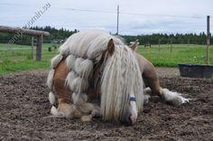 Odin -  Nordsvensk stallion
