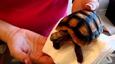 I'm calling this Redfoot Tortoise number Born January so a three year old. An Redfoot as my adult breeding pair are captive bred, not wild caught. Three Year Olds, Tortoises, January, Parents, Puppies, Pure Products, Number, Yellow, Healthy