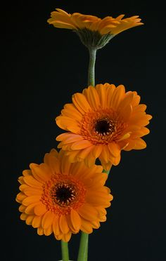 Golden Gerberas by malkv Exotic Flowers, Orange Flowers, Amazing Flowers, Colorful Flowers, Happy Flowers, Pretty Flowers, Flor Magnolia, Fleur Orange, Jaune Orange