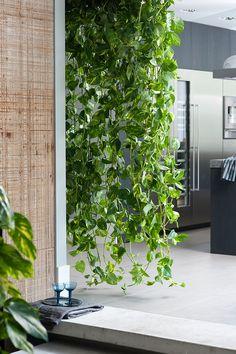 Epipremnum, een klimplant, kan ook zorgen voor een groene waterval in huiskamer of keuken.