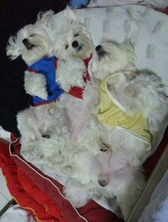 one in blue looks like my little man Baby Maltese, Teacup Maltese, Maltese Puppies, Dogs And Puppies, Love Pet, I Love Dogs, Puppy Love, Cutest Pets, Adorable Dogs