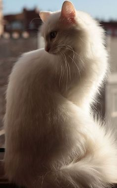 Turkish Angora cat information, pictures.Turkish Angora cats are happy to play, equally happy to relax and not particularly demanding of time. Pretty Cats, Beautiful Cats, Animals Beautiful, Cute Animals, Turkish Angora Cat, Angora Cats, Kittens Cutest, Cats And Kittens, Mundo Animal