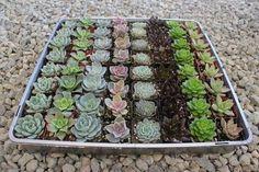 "2"" Rosette Succulents bulk wholesale wedding Favor gifts at the succulent source - 1"