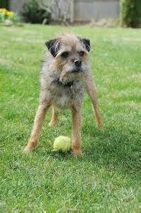 Border Terriers do well with other dogs and with family cats when the cat is raised using the Border Terrier or lived within the home prior to the Border Terrier.