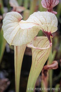 oo | Sarracenia oreophila x 'Adrian Slack' – 2009 cross