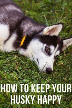 Siberian Husky Facts, Siberian Husky Puppies, Siberian Huskies, My Husky, Husky Puppy, White Husky, Dog Varieties, Best Dog Training, Dog Teeth