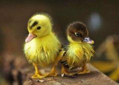 love the duckies