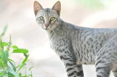 Extremely rare a truely wild cat - The Dilmun