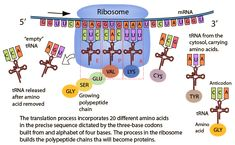 translation of a protein | Translation or Protein Synthesis
