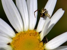 """If you enlarge photo and look closely at on the yellow center of flower you will see a happy aphid. I can almost hear his teeny tiny """"hello hello""""! Crab Spider, Enlarge Photos, Hello Hello, See It, Spiders, Canning, Yellow, Happy, Flowers"""
