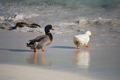 Ducks At Jost Van Dyke, British Virgin Islands Tortola British Virgin Islands, Great Photos, My Photos, Going Solo, Mj, Hanging Out, Animals, Animales, Animaux
