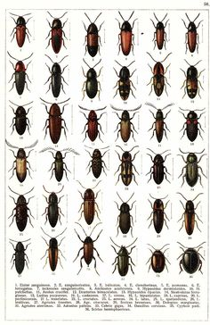 """G.G. Yakobson (1905-1915) - """"Beetles of Russia"""": table 38"""