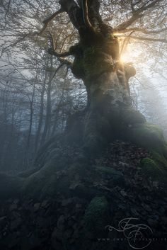 Old beech in a foggy morning in the hearth of the forest. Best viewed on black. By Enrico Fossati