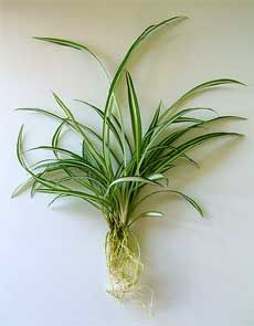 spider-plant rooted in water