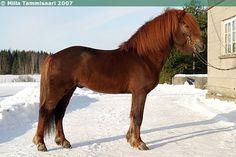 Icelandic Horse - stallion Skelmir frá Pori