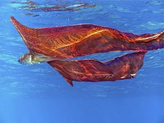 "Believe it or not, this is an octopus known as the blanket octopus. When the female blanket octopus is threatened, she will release a thin, webbing ""cape"" that appears to increase her size and cause intimidation. Ocean Creatures, Weird Creatures, Underwater Creatures, Blanket Octopus, Octopus Facts, Coconut Octopus, Portuguese Man O' War, Fauna Marina, Underwater World"
