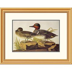 American Green Winged Teal By John James Audubon, 22 X 28-Inch Wall Art