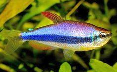 Purple Emperor Tetra (Inpaichthys kerri) | Tropical Fish Keeping