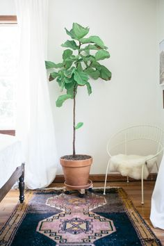 fig tree perfection