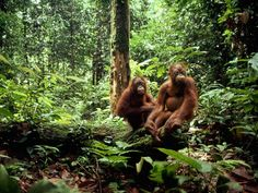 Sepilok Sanctuary in Sabah, Malaysia - Sundaland hot spot   Only about 7 percent of the region's original forest remains, most of it transformed into plantations for rubber, oil, and palm trees.