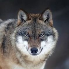 Wolf Photos, Wolf Pictures, Baby Animals, Funny Animals, Cute Animals, Beautiful Wolves, Animals Beautiful, Wolves In Love, Grey Wolves