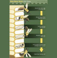 Ciclo di sviluppo di un'ape